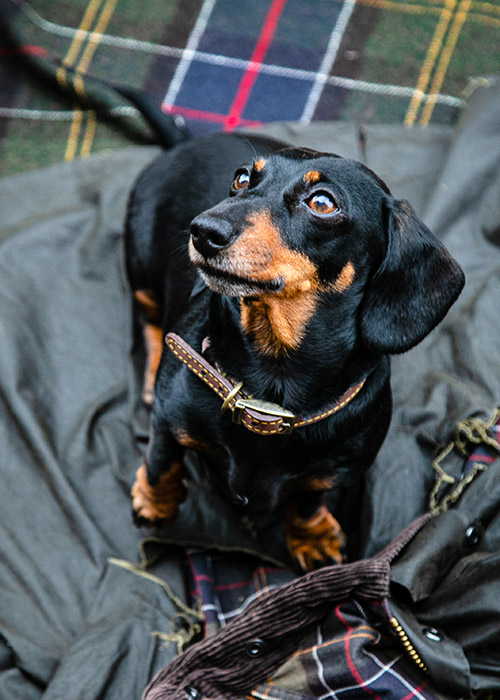 Dudley the Dachshund in a Barbour dogs collar