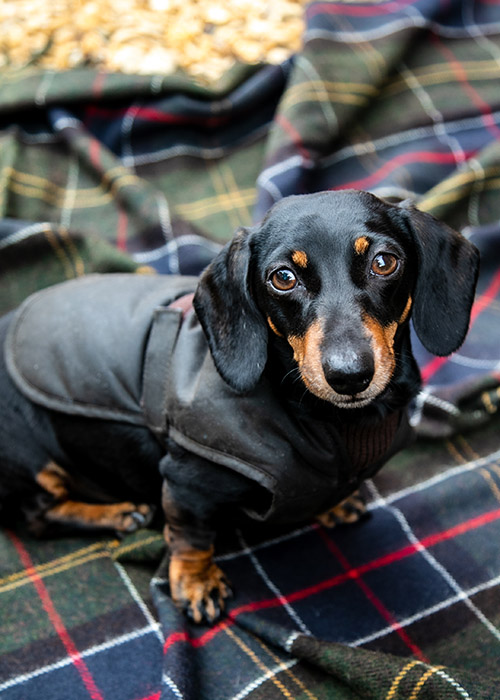 Dudley the Dachshund in his Barbour Dogs coat